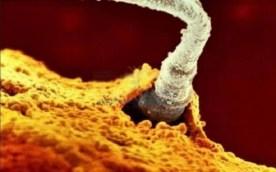 Un seul des 200 millions de spermatozoïdes pénètre dans la membrane de l'ovule