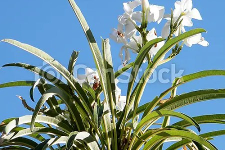 Beautiful flowers 2019 white oleander flower beautiful flowers white oleander flower various pictures of the most beautiful flowers can be found here find and download the prettiest flowers ornamental plants mightylinksfo