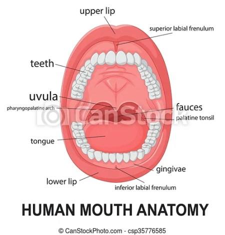 Upper Lip Anatomy Diagram Lipsviews