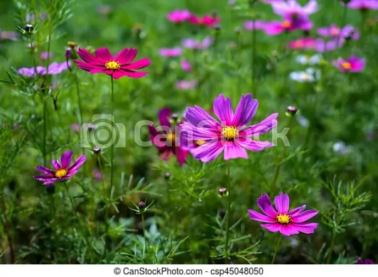 Pink and red cosmos flowers bloom beautifully  Pink flowers cosmos     Pink and red cosmos flowers bloom beautifully   csp45048050