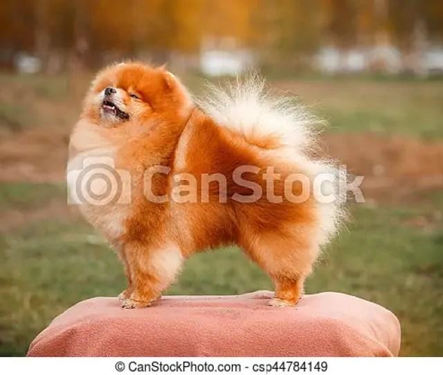 Pomeranian Redhead In Nature Csp44784149