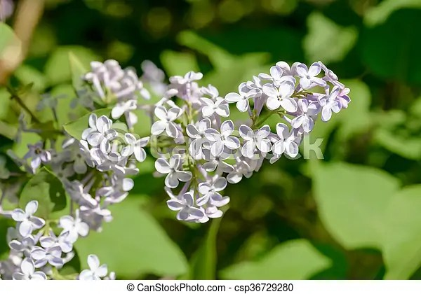 Syringa vulgaris madame lemoine flower  french lilac  Light purple     Light purple pink Syringa Vulgaris Madame Lemoine Flowers  French Lilac   under the warm spring sun