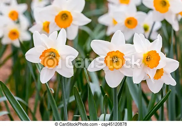 White daffodils flowers with green leaves blooming in springtime     white daffodils flowers with green leaves blooming in springtime    csp45120878
