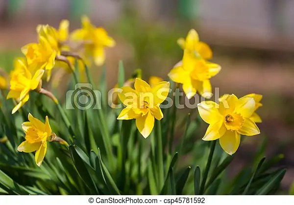 Yellow daffodil flower in the field  daffodil flowers in sunlight     Yellow Daffodil Flower In The Field  Daffodil Flowers In Sunlight field Of  Yellow Daffodils Or Stock Photo