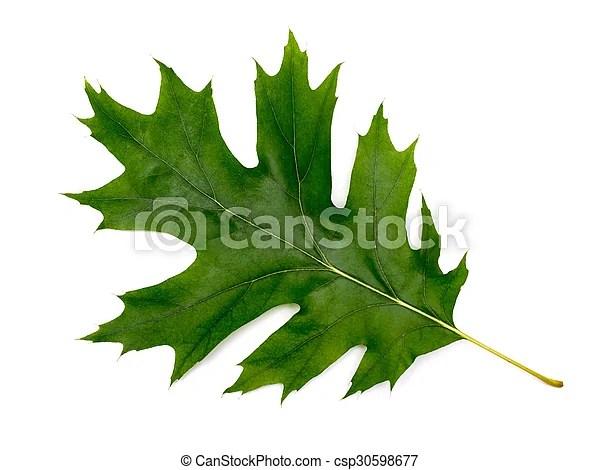 feuille chene isole arriere plan vert blanc