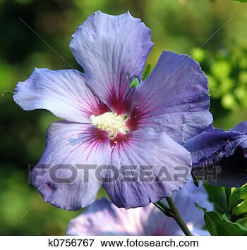 Picture - Rose of Sharon, Althea . Fotosearch - Search Stock Photography, Photos, Prints, Images, and Photo Clipart