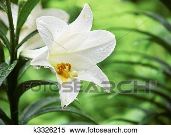 Stock Image - Wet easter lily. Fotosearch - Search Stock Photos, Mural Pictures, Photographs, and Photo Clipart