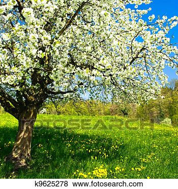 Picture - Blossoming tree in spring on rural meadow. Fotosearch - Search Stock Photos, Images, Print Photographs, and Photo Clip Art