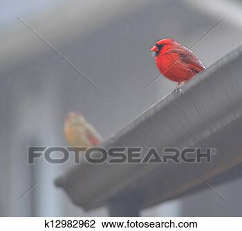 Stock Photo - Misty Cardinal Pair . Fotosearch - Search Stock Photography, Print Pictures, Images, and Photo Clip Art