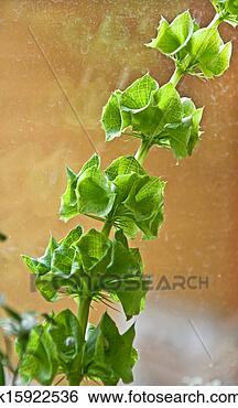 Stock Image - Bells of Ireland Plant or Molucca balmis Shellflower. Fotosearch - Search Stock Photography, Poster Photos, Pictures, and Photo Clip Art
