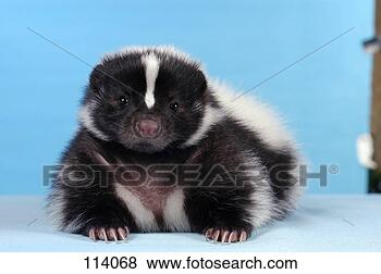 Stock Photo - young striped  skunk - lying  frontal / mephitis  mephitis. fotosearch  - search stock  photos, pictures,  images, and photo  clipart