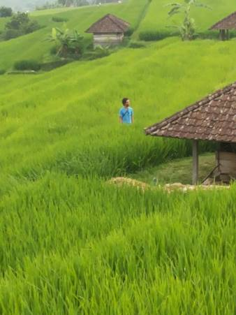 arrozales 2