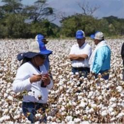 Agricultores de La Guajira le apuestan a la siembra del algodón