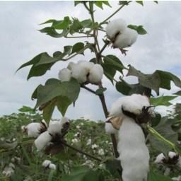 Productores se orientan en el manejo integrado del cultivo del algodón