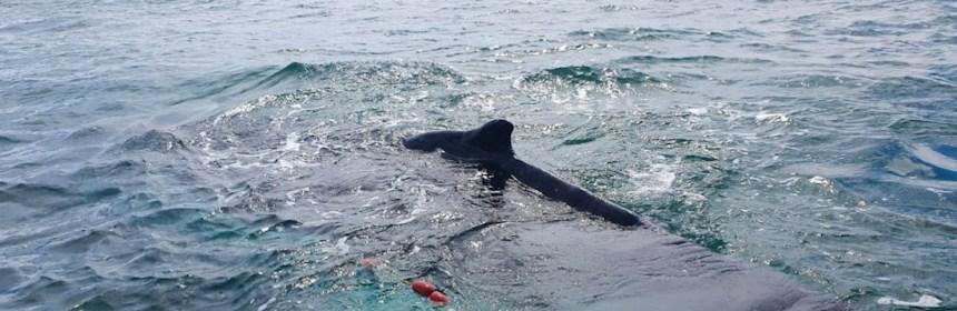cb2 - Una ballena jorobada queda atrapada en una red y rescatistas la liberan. Ocurrió en zona protegida de BC - #Noticias