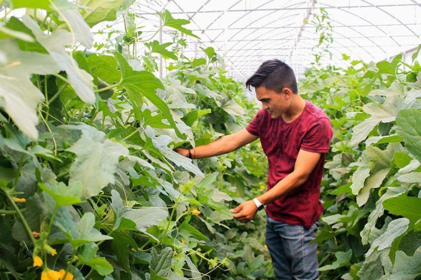 trabajan10 - Buscan mejorar cultivo de melón sin uso de químicos - #Noticias