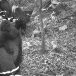 113311954 72481868 8324 4b97 b64a feb4f8e4958d - Las insólitas imágenes familiares del gorila más difícil de ver en el mundo