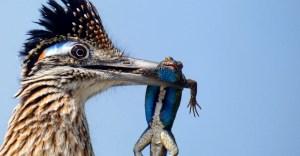 concurso de fotografia ave - Correcaminos devorando un lagarto obtiene importante premio de fotografía. La naturaleza es salvaje