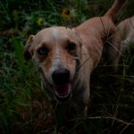 """perro - """"Buddy"""", el primer perro con COVID-19 en EU, muere; pasó más de 2 meses con problemas de respiración"""