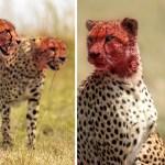 portada guepardos festin antilope kenia1 - Retratan a guepardos dándose un festín con un antílope en Kenia. Sus caras demuestran su voracidad
