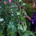 5ed368d3caa3c - EU reporta disminución en cultivo de amapola y producción de heroína en México