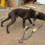 españa maltrato 7 perros encadenado - Noticias al momento