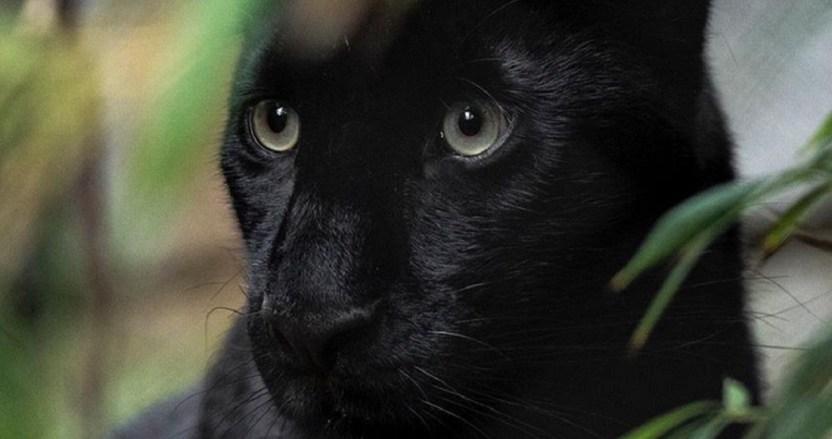 """leopardo negro 2 - FOTO: Joven vive experiencia """"surreal"""" en la India: se encuentra con leopardo negro a sólo unos metros"""