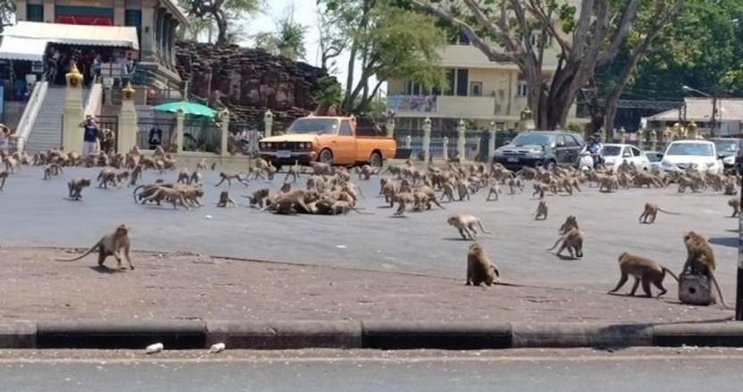 monos tailandia - Miles de monos invaden la ciudad de Lopburi en Tailandia, y ponen en riesgo la economía local
