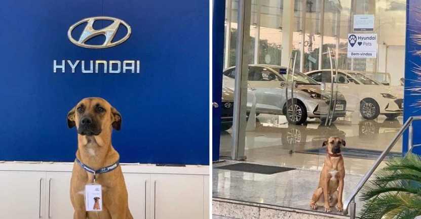 perrito es adoptado por empresa de automoviles 3 - Concessionária de carros contrata cachorrinho que vagava pela região. Agora ele é o novo vigilante do lugar