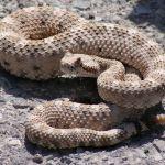 2048px Crotalus cerastes mesquite springs CA 2 - Calabasas advierte que tengan cuidado con las serpientes de cascabel en el fin de semana feriado