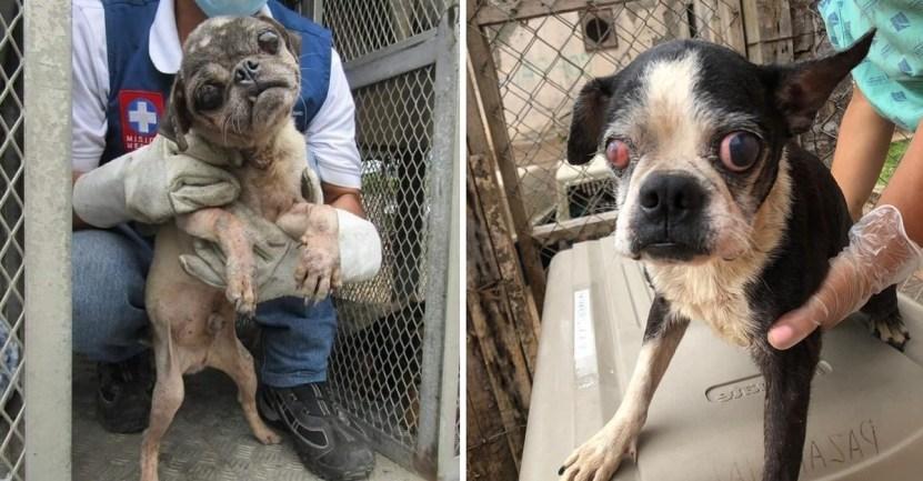55 perro maltrato colombia cali criadero maltrato - Logran cerrar criadero clandestino de perros en Cali, Colombia. Más de 60 animales eran explotados