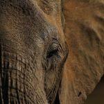 GettyImages 103453504 - VIDEO: Elefantes protegen a sus crías sin titubear ante una manada de perros salvajes