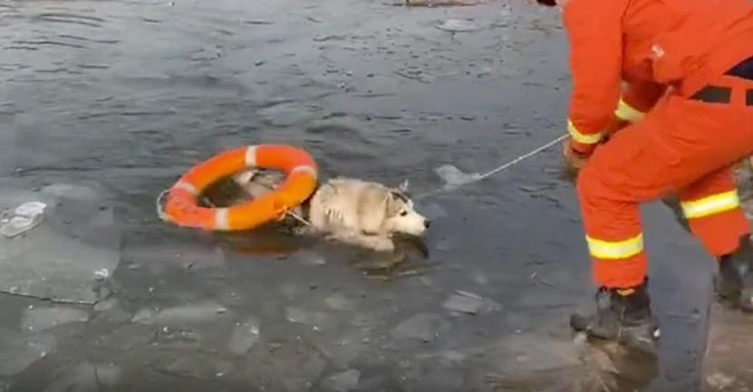 perro husky lago congelado bomberos - Husky cayó en un lago congelado y aullaba por ayuda. Bomberos lo rescataron con un salvavidas