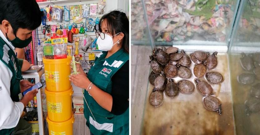 tortugas rescate peru - En Perú rescataron a 22 tortugas y 6 iguanas del comercio ilegal. Responsable pagará una multa alta