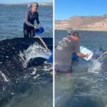 ballena  - Rescatistas regresan al mar a tiburón ballena varado en costas de México. Con baldes lo refrescaron
