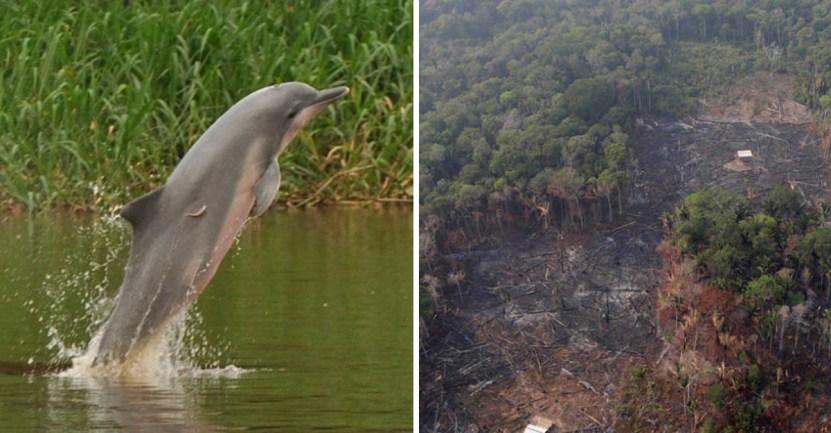 delfin gris - Declaran al delfín gris en peligro de extinción por la deforestación en el Amazonas. Dañan su hogar