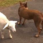 perro oveja perdidos  - Un perro y una oveja regresan a casa juntos después de perderse por 2 días. Se apoyaron para volver