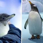 pinguino nace mexico - Nació el primer pingüino antártico en acuario de México. El único reproducido en clima cálido