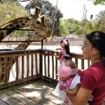 zoo culiacan jirafas.jpeg 242310155 - Zoológicos reciben apoyo para alimentar animales rescatados