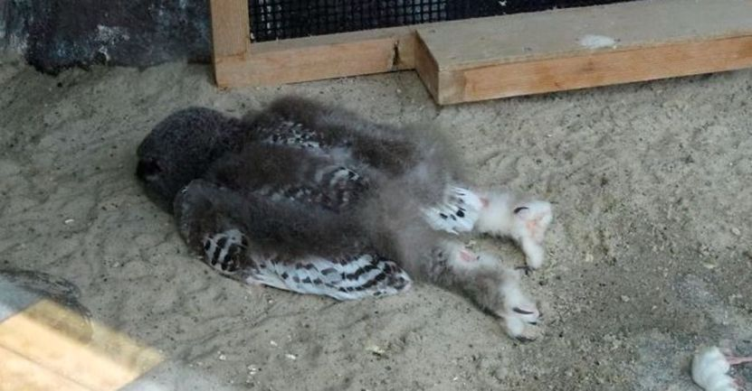 Captura de Pantalla 2021 02 10 a las 10.06.15 - ¿Qué le pasó? 20 fotografías de búhos bebés durmiendo boca abajo. Como tú después de una fiesta