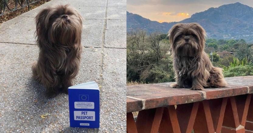 chewy - Chewy, un perro de Reino Unido, pierde su pasaporte en Tepoztlán y recibe ayuda de la Embajada