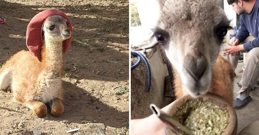 guanaco panchito - Joven adopta a un guanaco abandonado y lo convierte en su ayudante de cocina. Es muy inteligente
