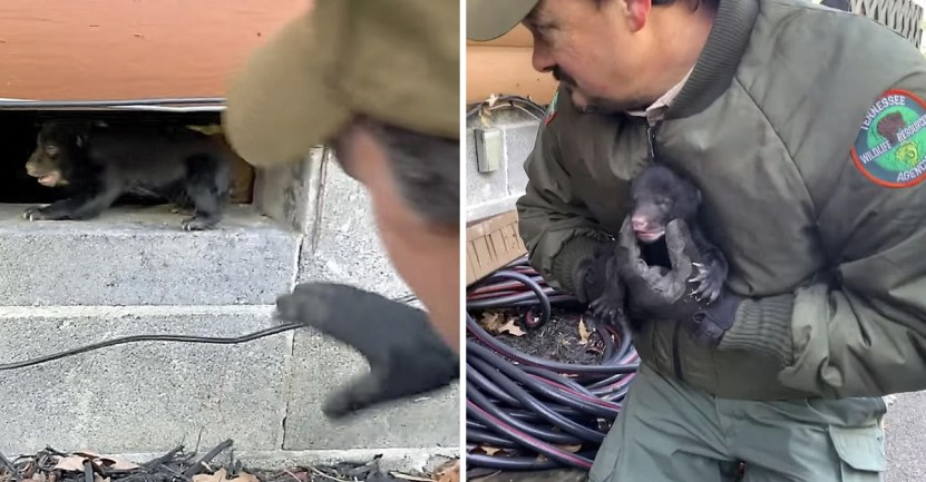 osos cachorros rescate  - Una osa y sus crías son reunidas luego de separarse en una cabaña. El dueño las recibió en su hogar