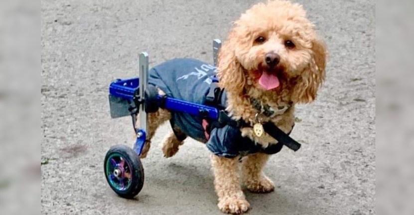 cachorro rescate matadero china - Lo salvaron de un matadero en China y ahora es un perro de terapia. Entrega ayuda en silla de ruedas