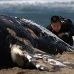 GettyImages 1151659354 - Cuatro ballenas grises aparecen muertas en el área de San Francisco y los expertos se preocupan