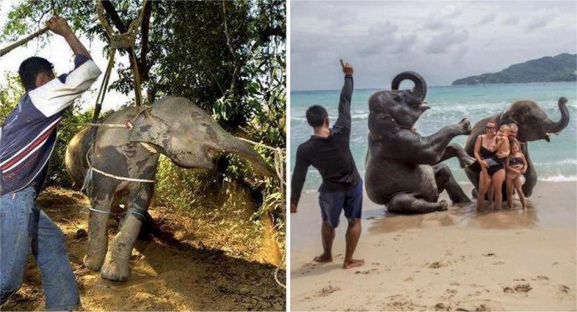 maltrato animal - Detrás de cada selfie turística, un animal sufre. Los apalean a diario para que obedezcan órdenes