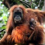 orangutan de Tapanuli - El gran simio más raro de la Tierra pronto podría extinguirse