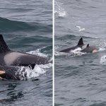 orcas portada - Mujer capta a una pequeña cría de orca nadando con su madre en la costa de Escocia. No se separan