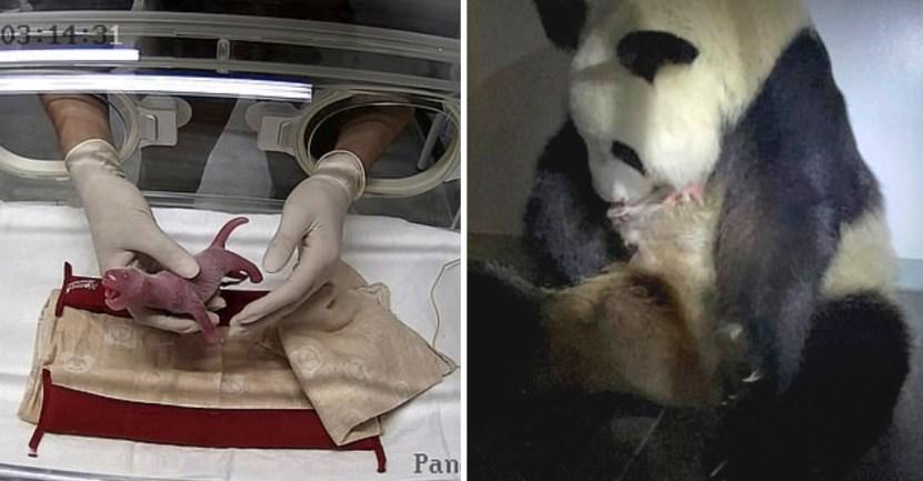 33 panda nacimiento japon mellizos gemelos extincion china - Japón se regocija: La panda de 15 años, Shin Shin, logró tener gemelos en un zoológico de Tokyo