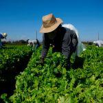 GettyImages 1231093703 - La Corte Suprema dictaminó que los sindicatos no pueden reclutar en las granjas de California